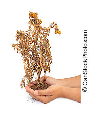 Dried plant in hand isolated on white background