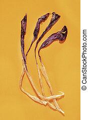 Dried purple crocuses