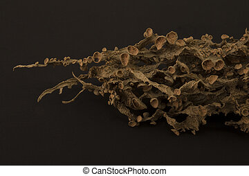 Dried ramalina fraxinea or cartilage lichen closeup