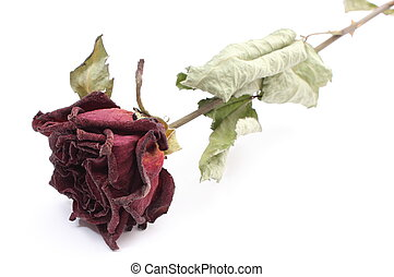 Dried red rose on white background