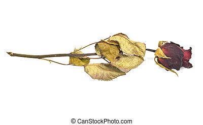 Dried Red roses on a white background.