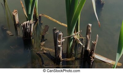 Dried reeds on the lake