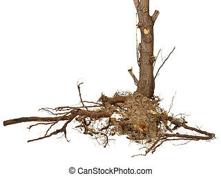 Dried roots and stem isolated
