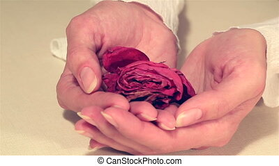 Dried rose blooms in delicate female hands. - Dried rose...