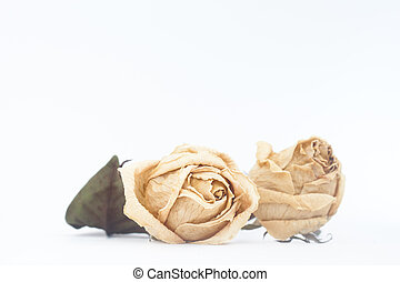 Dried rose flower on white background with copy space