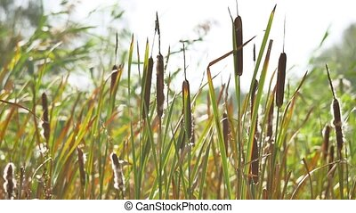 dried rush and reed Cattails swamp grass high the nature...