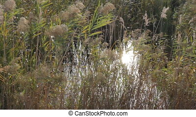 Dried stalks of reeds against the background of winter...