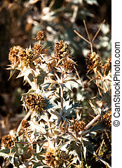 Dried Thistle - Dried thistle plant close to the beach on...