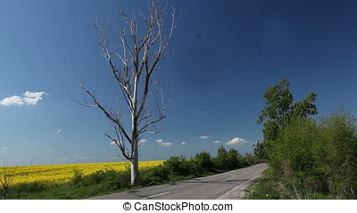 Dried Tree Guarding Rapeseed Field on Empty Road - Dried...