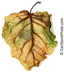 dried up leaves of poplar isolated
