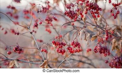 dried viburnum berries on swinging branches, autumn...