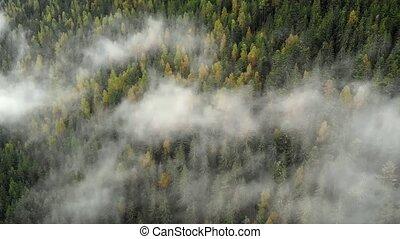 drifts, лес, туман, зрелый, trees, amongst, ветви, ель