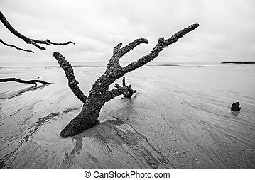 Driftwood and washed out trees at the beach on Hunting Island State Park of South Carolina