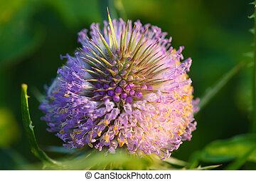 dright thistle flower