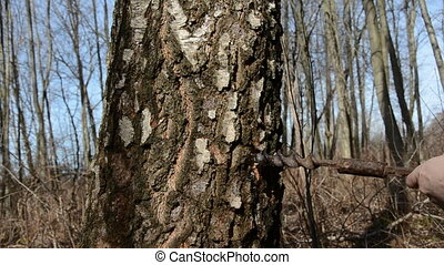 drilling a hole in birch for sap - drilling a hole in birch...
