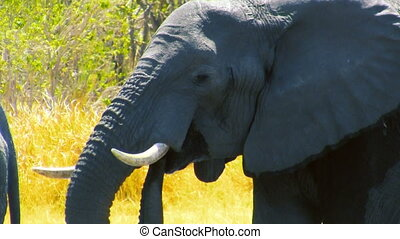 Drinking african elephant - Detailed view of huge african...