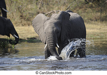 Drinking Elephant