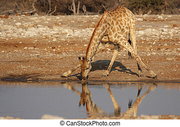 Drinking Giraffe at the waterhole in the Etosha National...
