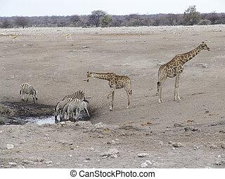 Drinking giraffes and zebras