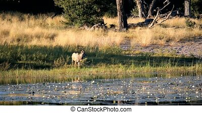 drinking male of Kudu antelope, Bwabwata namibia Africa -...