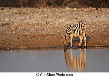 Drinking Plains Zebra at the waterhole in the Etosha National Park, Namibia