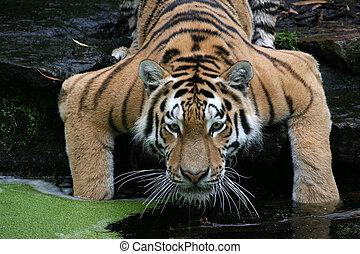 Tiger - Drinking Siberian Tiger