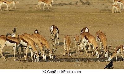 Drinking springbok antelopes - Herd of springbok antelopes...