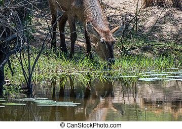 Drinking Waterbuck