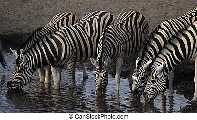 Drinking Zebras at the waterhole in the Etosha National...