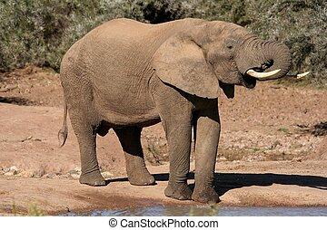 drinkt, afrikaanse olifant