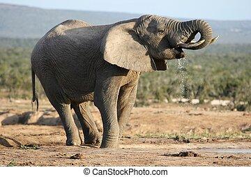 drinkt, elefant, afrikaan, stier