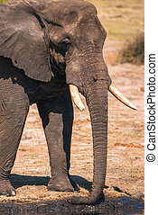 drinkt, elefant