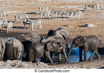 drinkt, kudde, olifanten