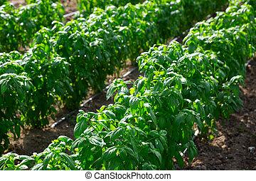 Drip irrigation of basil plants on farm field