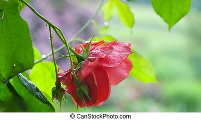 drips., rose, rouges, pluie