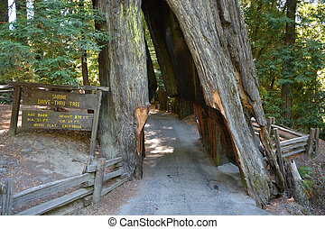 Drive through tree in California Redwoods national park