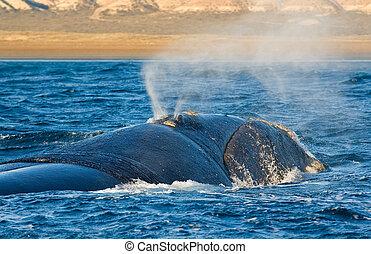 droit, whale.