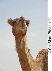 dromedario, cabeza, camello