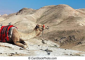 dromedario, judean, desierto, camello