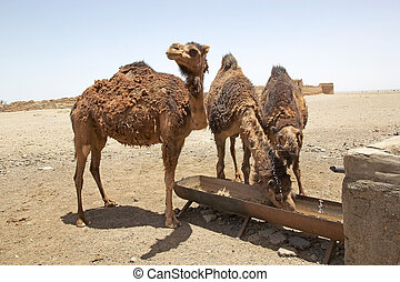 Dromedary camels (Camelus dromedarius) are drinking with the ruins of the historic caravanserai along the road from Meybod to Nain, Iran. A caravanserai was a roadside inn where travelers could rest and recover from the day journay. Caravanserai supported the flow of commerce and people accross the ...