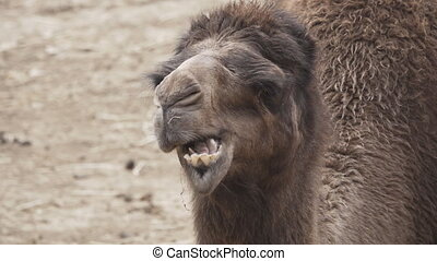 Dromedary camel chewing in super slow motion - Front view of...