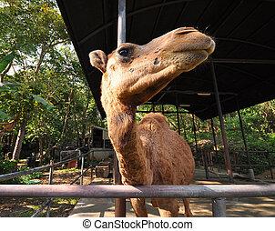 camel - dromedary camel in the corral at the farm