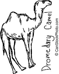 Dromedary camel - vector illustration sketch hand drawn with black lines, isolated on white background