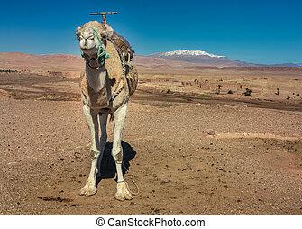 Dromedary in the desert - Ouarzazate, Morocco, Africa -...