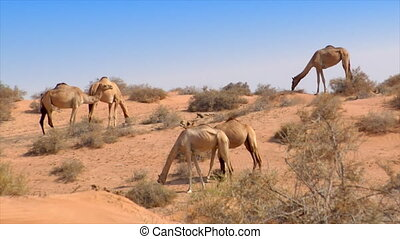 dromedary kiss in desert
