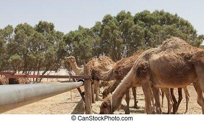 Dromedary - Camel farm in Negev Desert, Israel