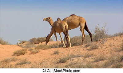 dromedary walk in desert