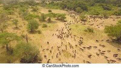 Drone Aerial View of Wildebeest Herd on Migration in Savannah, African Safari
