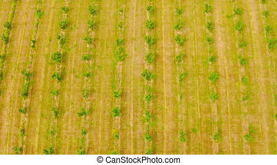 aerial view on rows of young fruit trees green foliage farm in countryside summer season