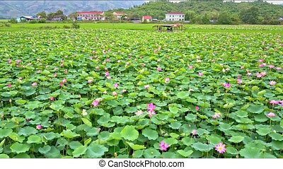 Drone Flies Closely across Lotus Field to Farm Pavillion -...